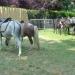 Ballades avec des poneys et des ânes...